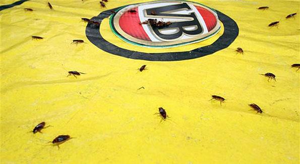 Das große Krabbeln beim Kakerlaken-Rennen lockt seit mehr als drei Jahrzehnten die Massen an.
