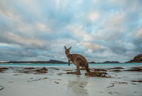 In Westaustralien gibt es im wahrsten Sinne des Wortes wie hier an der Lucky Bay tierisch viel zu entdecken. (Foto Greg Snell)