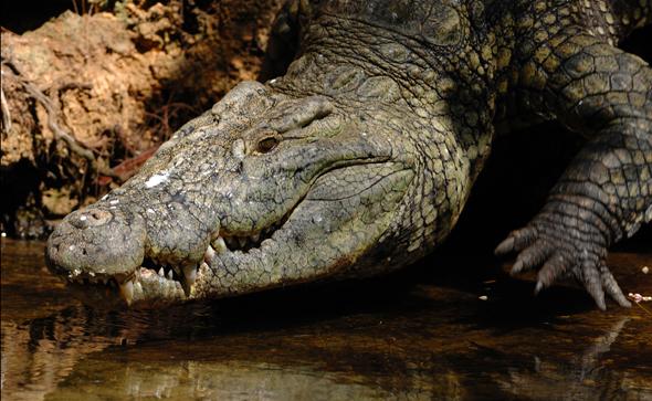 Eines der faszinierenden, wenn auch gefährlichen  Tierarten in Kenias Fauna: das Krokodil. (Foto Kenya Tourism Board)