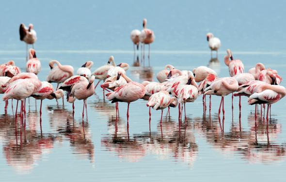 Prächtiger Anblick: Flamingos am Lake Nakuru. (Foto Kenya Tourism Board)