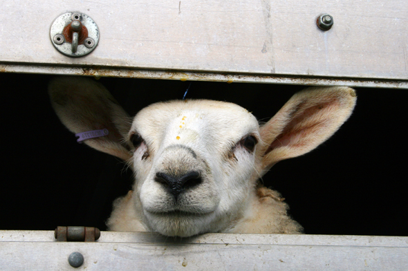 Gehören zum Bild von Wales: die wollliefernden Schafe. (Foto Karsten-Thilo Raab)