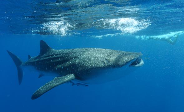 Der beste Ort, um mit den Walhaien zu schwimmen, ist am Ningaloo Reef. (Foto James Morgan)
