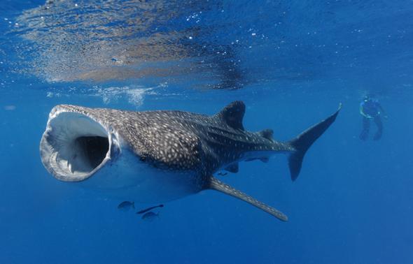 Tierische Begegnung mit einem sanften Riesen am Ningaloo Reef in Westaustralien. (Foto James Morgan)