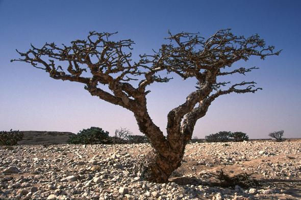Der Weihrauchbaum ist typisch für das Sultanat Oman. (Foto: djd)