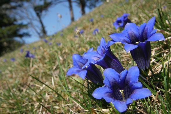 Im Mai blühen rund um Füssen die Enziane.(FotoGerhard Eisenschink)