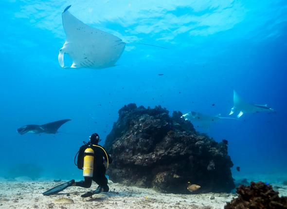 Die Neugierde der Mantarochen macht es leicht, den riesigen Fischen näher zu kommen. (Foto Fabrice Jane)