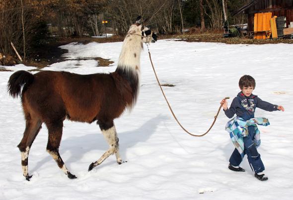 Selbst kleinen Tierfreunden fällt der Umgang mit den Lamas nach einer kurzen Eingewöhnungsphase nicht sonderlich schwer. (Foto Karsten-Thilo Raab)