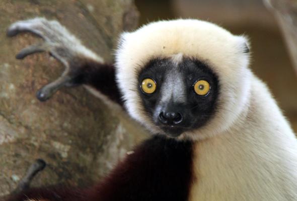 """Der Treetop Trail lädt die kleineren Affen und Lemuren ein, neben ihren """"normalen"""" Gehegen auch verschiedene Außenbereiche zu erkunden (Foto  Karsten-Thilo Raab)"""
