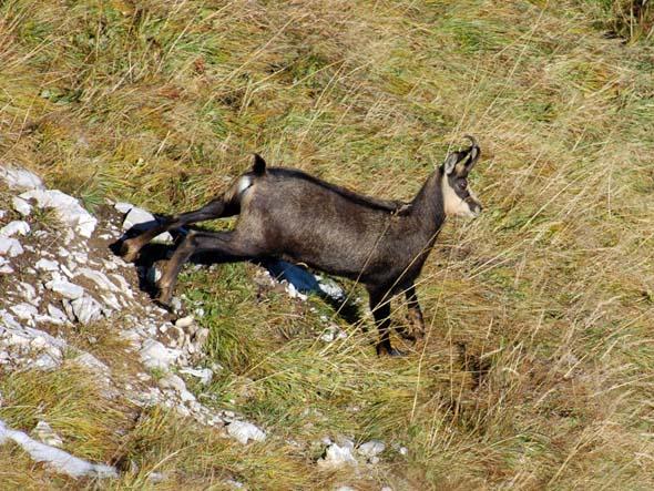 Im Alpenpark Karwendel erleben Wanderer seltene Wildtiere wie die Gämse hautnahe. (Foto Alpenpark Karwendel)