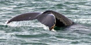 Spotted vor der Küste von Hawaii: Tanzlustige Wale