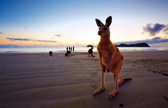 Tierische Begegnung fast garantiert: Am Cape Hillsborough tummeln sich die Kängurus gerne am Strand.