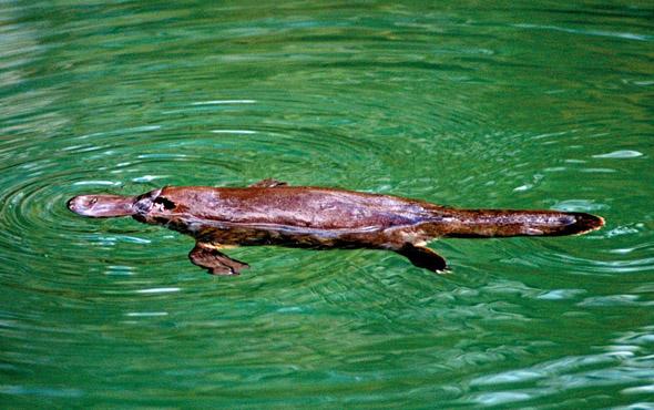 Im  Eungella Nationalpark   sind die scheuen Schnabeltiere anzutreffen.