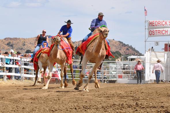 Zu den ungewöhnlichen Veranstaltungen in Nevada zählt das Kamelrennen in Virginia City.