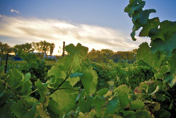 In Arizona findet der Weinanbau - wie hier in der Page Springs Vineyard - immer mehr Freunde.