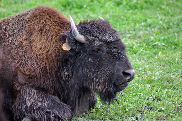 Mächtige Brocken: die wild umherstreifenden Bisons. (Foto Karsten-Thilo Raab)