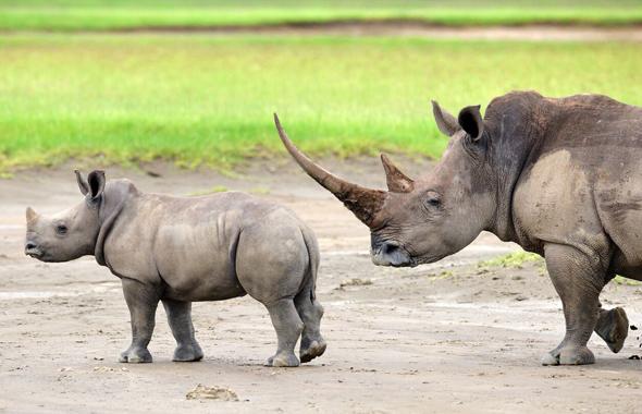 Der Nashorn-Bestand in Kenia hat sich erholt. Ein neues Projekt soll helfen, die Tiere im Norden in der Region Samburu anzusiedeln. (Foto Kenya Tourist Board)