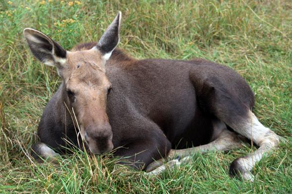Staatliche Elche und solche, die es noch werden wollen, tummeln sich im Riding Mountain National Park. (Foto Karsten-Thilo Raab)