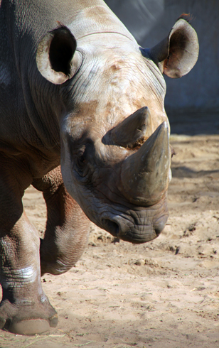 Beeindruckende Kolosse: die Nashörner. (Foto Karsten-Thilo Raab)