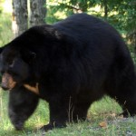 Auge in Auge mit Elch, Bär & Bison in Manitoba
