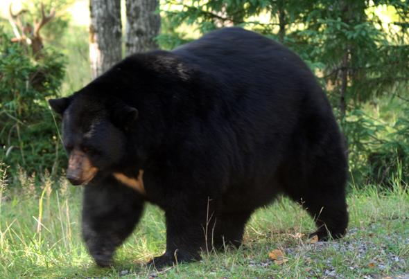Zahlreiche Schwarzbären tummeln sich im Riding Mountain National Park in Manitoba. (Foto Karsten-Thilo Raab)
