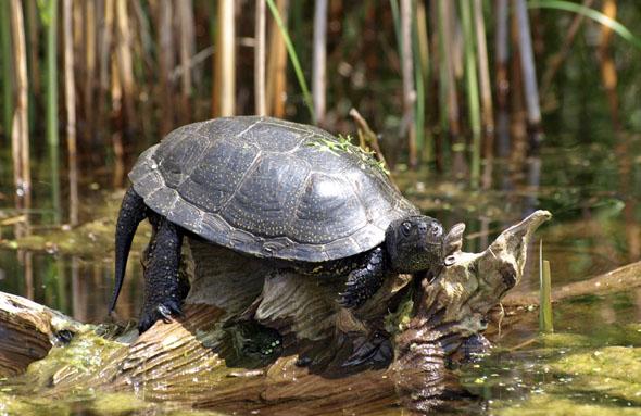"""Das Sumpfschildkrötenhabitat im """"Nabu-Informationszentrum Blumberger Mühle""""sorgt für besondere Blickfänge. (Foto: J. Henschel)"""