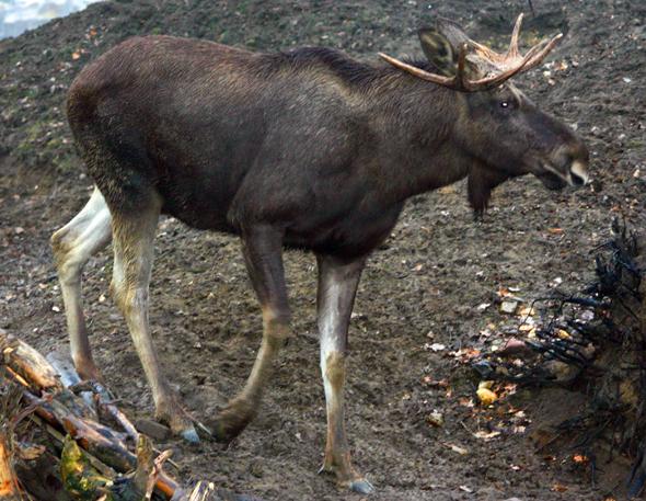 Begegnungn mit Elchen sind in Schwedens Wäldern keine Seltenheit. Gefährlich wird es, wenn sich die Riesen der Wälder auf die Straße wagen. (Foto Karsten-Thilo Raab)