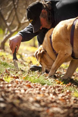 Die begehrten Trüffel zu finden, gelingt nur echten Spürnasen. (Foto Southern Forests - Truffle producer (c) Southern Forests Food Council)