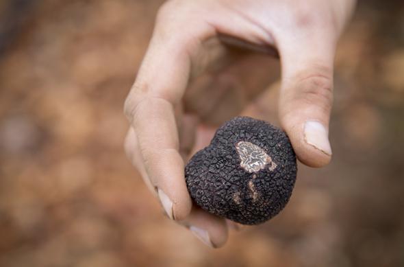 Im westaustralischen Manjimup dreht sich Ende Juni alles um das schwarze Gold, wenn hier zum fünften Mal das Trüffel-Festival steigt. (Foto Craig Kinder)