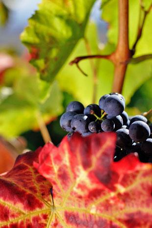 Das Heilbronner Land ist die größte Rotweinregion in Deutschland. (Foto: djd)