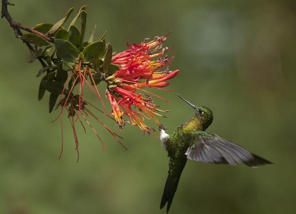 Ein Liebling der Vogelfreunde: der in Ecuador häufig anzutreffende Kolibri.