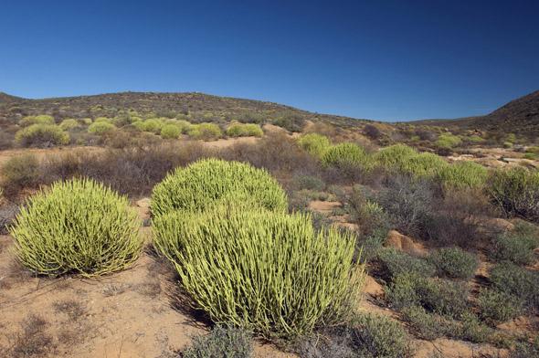 Überaus beeindruckend ist die Wüsten-Flora uf dem Weg nach Namaqualand. (Foto South Africa Tourism)