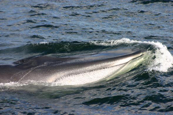 Regelmäßig müssen die Meeresriesen - wie dieser Finnwal - auftauchen, um nach Luft zu schnappen. (Foto Karsten-Thilo Raab)