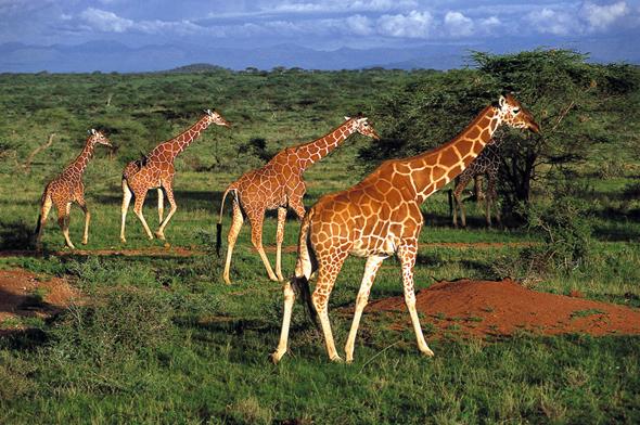 Viele Savannentiere wie Giraffen,  Elefanten, Büffel sowie verschiedene Gazellen- und Antilopenarten halten sich ganzjährig in der Masai Mara auf. (Foto Kenya Tourism Board)