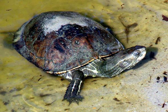 Schildkröten gehören nicht ins Gepäck. Tierliebhaber lassen die Tiere in ihrer Heimat, statt sie einfach mitzunehmen.  (Foto Karsten-Thilo Raab)