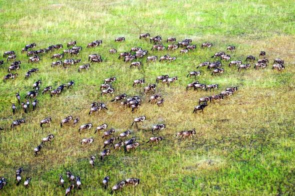 Nicht nur aus der Vogelperspektive ist die alljährliche Tierwanderung in der Masai Mara überaus beeindruckend. (Foto Guido Bürger)