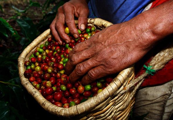 Der Kaffeeanbau ist einer der bedeutendsten Wirtschaftsfaktoren in Kolumbien