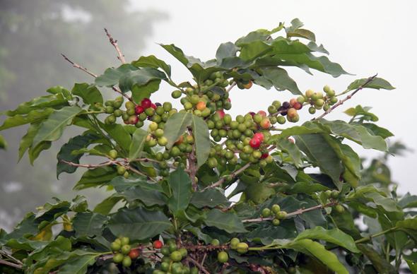 """Bekannt sind die """"blauen Berge"""" auch für den Blue Mountains Coffee."""