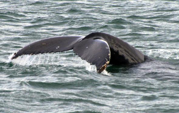 Beim Whale Watching auf dem Lorenz-Strom im kanadischen Quebec sind Begegnungen mit den Meeresriesen quasi garantiert. (Foto Karsten-Thilo Raab)