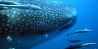 Fest für einen Riesen: Walhai-Festival am Ari Atoll