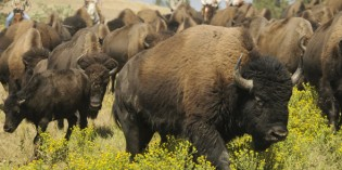 "Der ""König der Prärie"" kommt mächtig in die Hufe: Buffalo Roundup in South Dakota"
