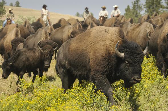 Ein tierisches Spektakel: das traditionelle Buffalo Roundup in South Dakota.