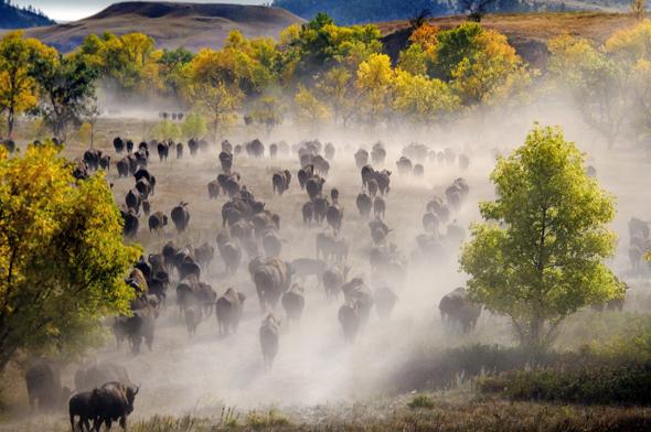 Beim Buffalo Roundup bebt die Erde unter den Hufen der mächtigen Bisons.