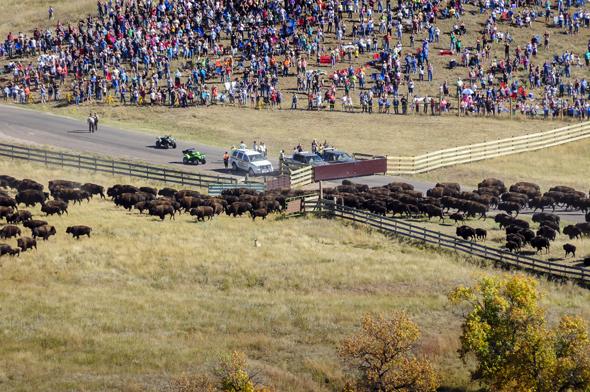 Die Besucher des  Custer State Park s können das Spektakel aus nächsten Nähe miterleben. (Fotos Rocky Mountain International, SD Department of Tourism)