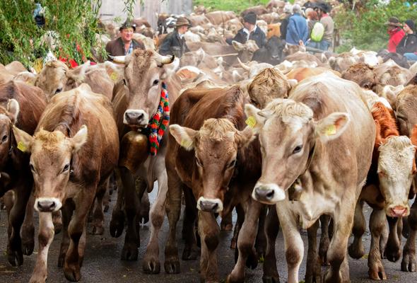 Beim traditionellen Viehscheid Däg ist im wahrsten Sinne des Wortes tierisch was los. (Foto M. Lukaszewski)