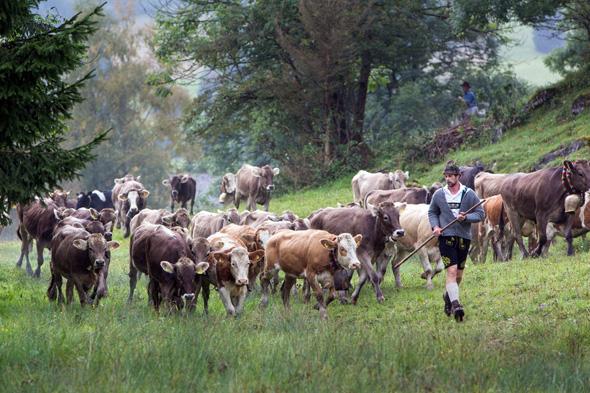 Nach 100 Tagen auf den Alpen geht es für die Rindviecher ab ins Tal. (Foto M. Lukaszewski)
