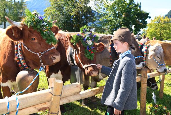 Die bunt geschmückten Rinder bei der Viehscheid – eines der beliebtesten Fotomotive im Allgäu.