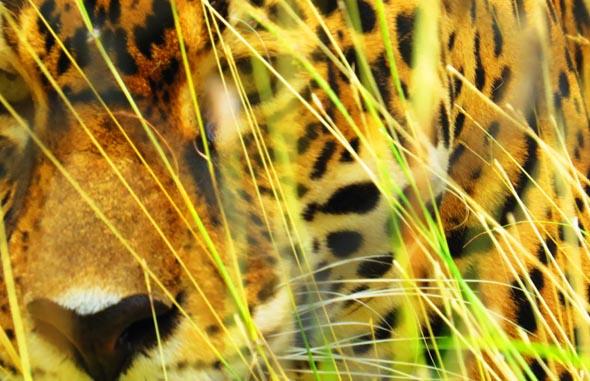 Jaguare und andere Raubkatzen durchstreifen die Wälder Mittelamerikas. (Foto Paulwip/Pixelio)