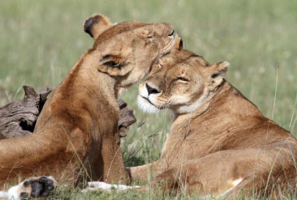 Löwen gehören zu Kenias Fauna - und so kuschelig sie unter einander sein mögen, so problematisch kann ihr Jagddinstinkt für die Bauern sein.