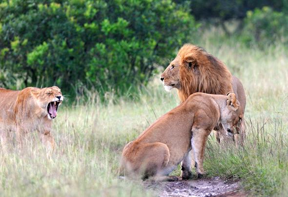 Mit verschiedenen Maßnahmen wird in Kenia versucht, sowohl den Löwen in ihrem natürlichen Lebensraum als auch den Kleinbauern gerecht zu werden.