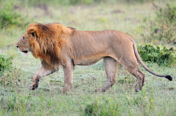 Die Viehherden mancher Kleinbauern sind für die Löwen eine leichte Beute.